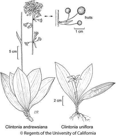 botanical illustration including Clintonia uniflora