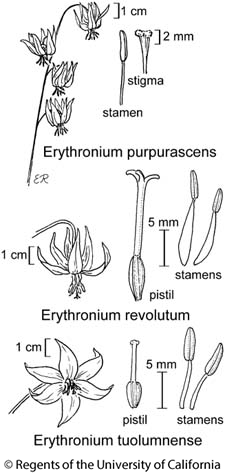botanical illustration including Erythronium tuolumnense