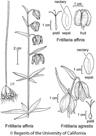 botanical illustration including Fritillaria agrestis