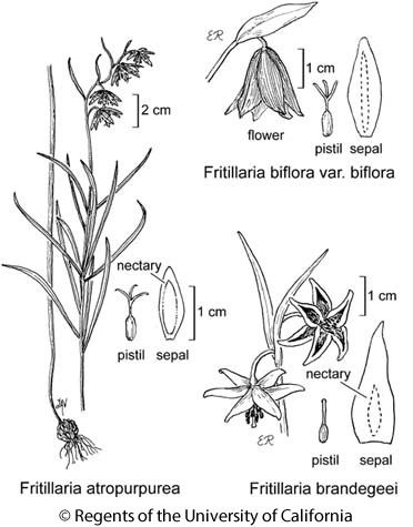 botanical illustration including Fritillaria biflora var. biflora