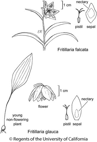 botanical illustration including Fritillaria falcata