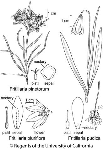 botanical illustration including Fritillaria pudica
