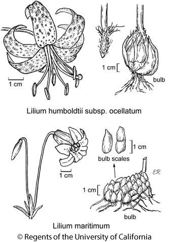 botanical illustration including Lilium humboldtii subsp. ocellatum