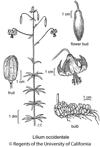 botanical illustration including Lilium occidentale