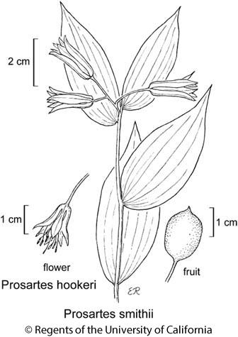 botanical illustration including Prosartes smithii