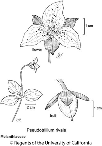botanical illustration including Pseudotrillium rivale