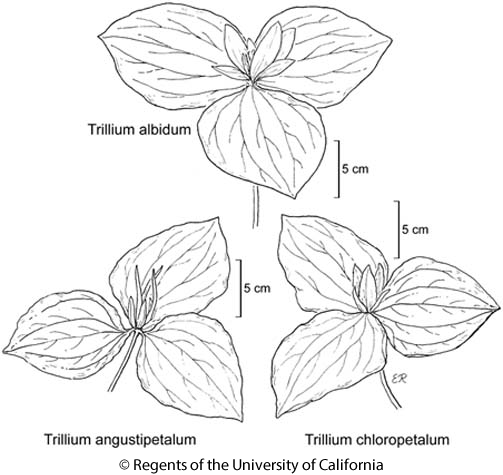 botanical illustration including Trillium angustipetalum