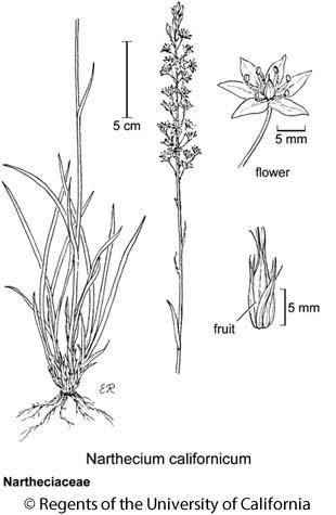 botanical illustration including Narthecium californicum