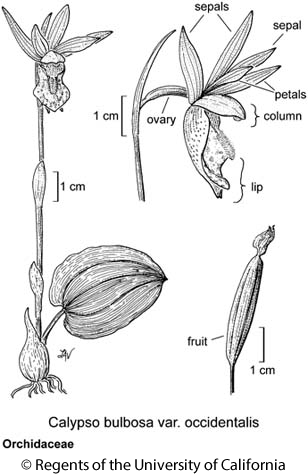 botanical illustration including Calypso bulbosa var. occidentalis