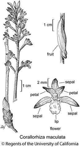 botanical illustration including Corallorhiza maculata