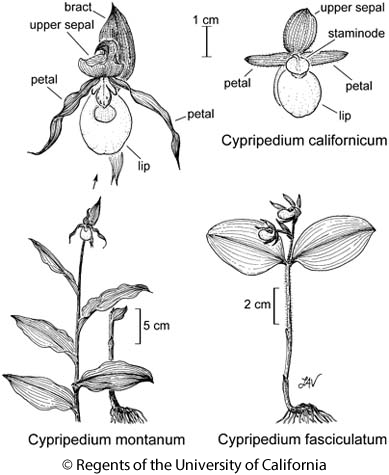 botanical illustration including Cypripedium fasciculatum