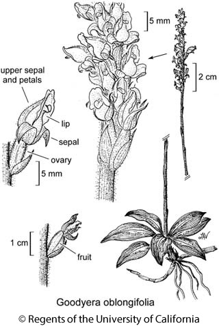 botanical illustration including Goodyera oblongifolia