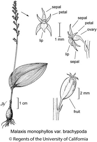 botanical illustration including Malaxis monophyllos var. brachypoda