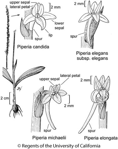 botanical illustration including Piperia michaelii