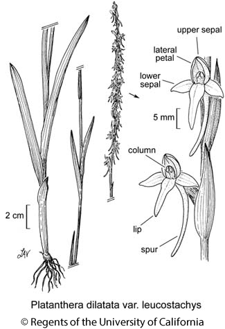 botanical illustration including Platanthera dilatata var. leucostachys
