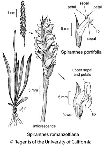 botanical illustration including Spiranthes romanzoffiana