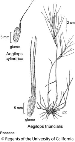 botanical illustration including Aegilops cylindrica