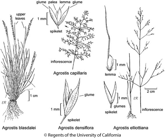botanical illustration including Agrostis densiflora