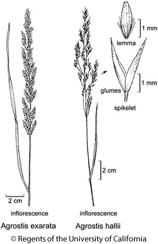 botanical illustration including Agrostis exarata