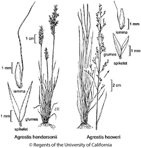 botanical illustration including Agrostis hendersonii