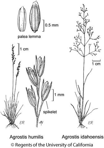 botanical illustration including Agrostis idahoensis