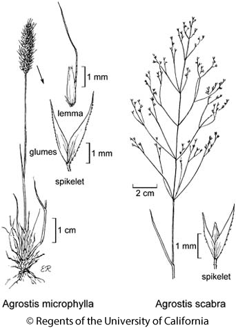botanical illustration including Agrostis microphylla