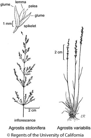 botanical illustration including Agrostis stolonifera