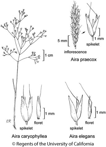 botanical illustration including Aira elegans