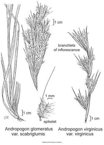 botanical illustration including Andropogon glomeratus var. scabriglumis
