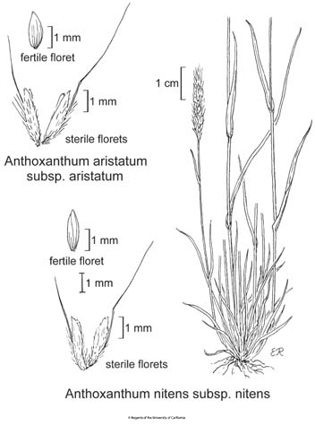 botanical illustration including Anthoxanthum aristatum subsp. aristatum