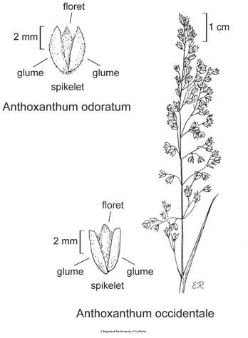 botanical illustration including Anthoxanthum occidentale
