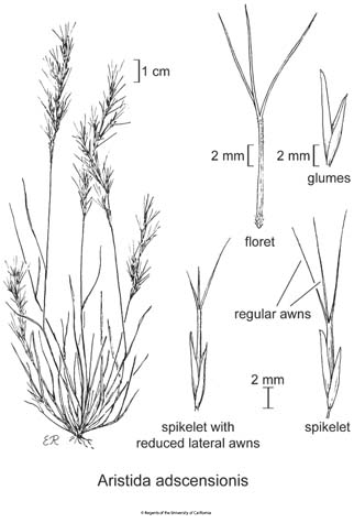 botanical illustration including Aristida adscensionis