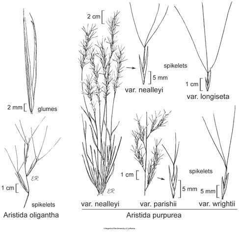 botanical illustration including Aristida purpurea var. nealleyi