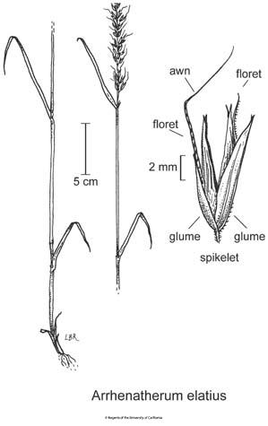 botanical illustration including Arrhenatherum elatius