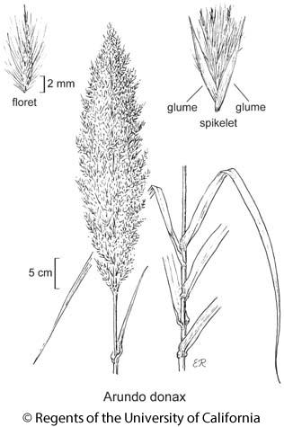 botanical illustration including Arundo donax