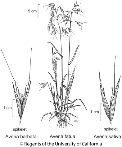 botanical illustration including Avena barbata