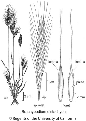 botanical illustration including Brachypodium distachyon