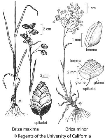botanical illustration including Briza minor