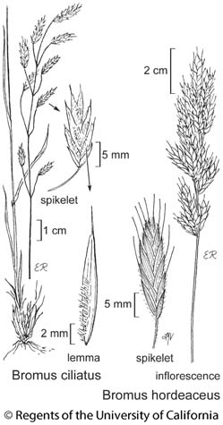 botanical illustration including Bromus ciliatus