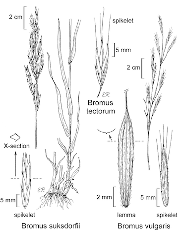botanical illustration including Bromus suksdorfii