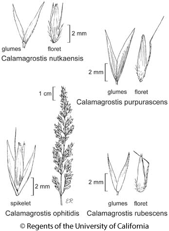 botanical illustration including Calamagrostis rubescens