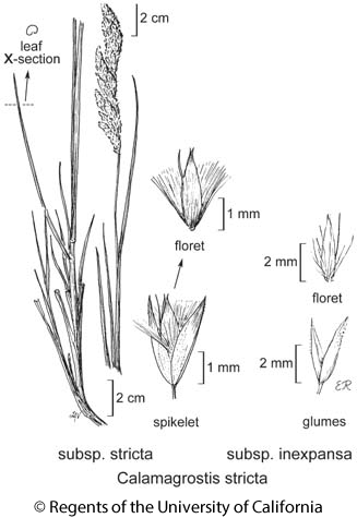 botanical illustration including Calamagrostis stricta subsp. inexpansa