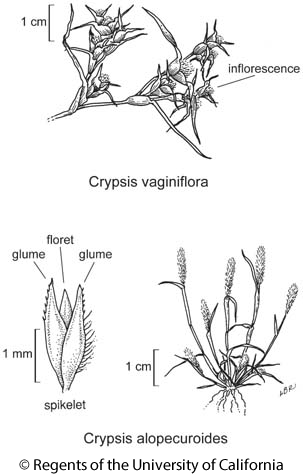 botanical illustration including Crypsis vaginiflora