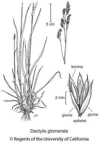 botanical illustration including Dactylis glomerata
