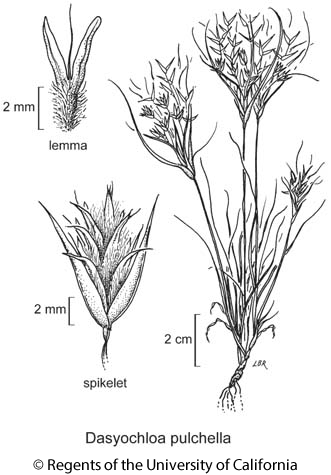 botanical illustration including Dasyochloa pulchella