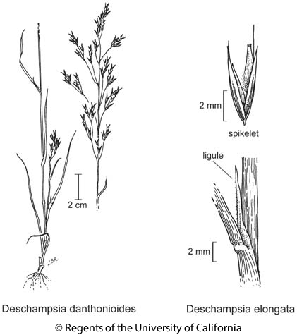 botanical illustration including Deschampsia elongata