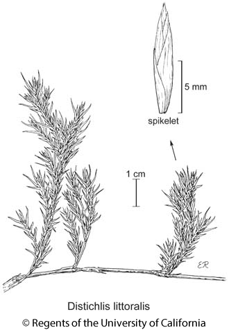 botanical illustration including Distichlis littoralis