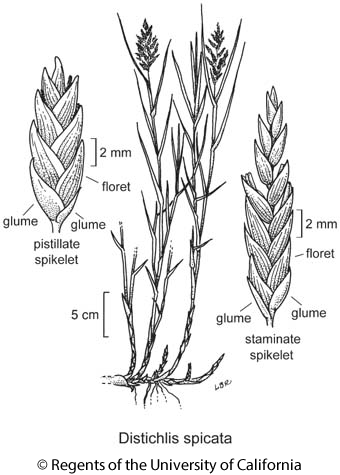 botanical illustration including Distichlis spicata
