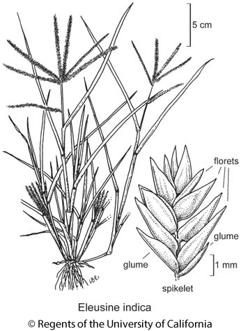 botanical illustration including Eleusine indica