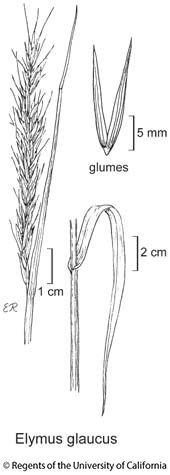 botanical illustration including Elymus glaucus